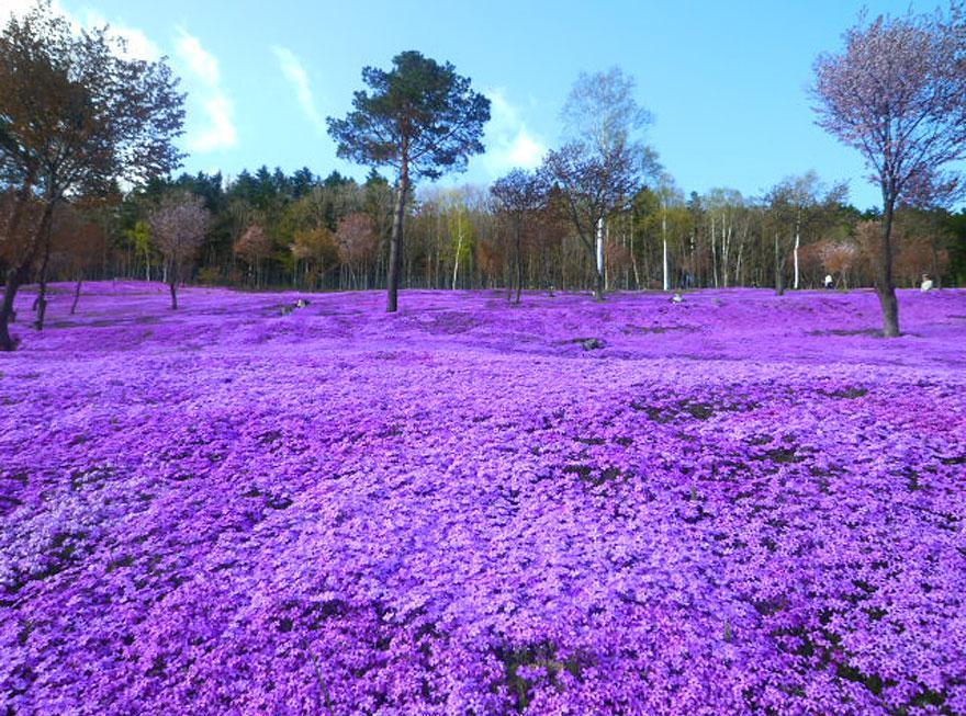 Flores Shibazakura Takinoue Park Japón