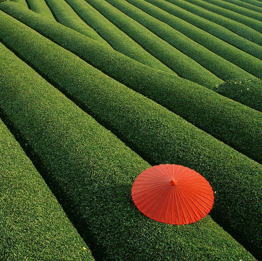 Los campos de té China