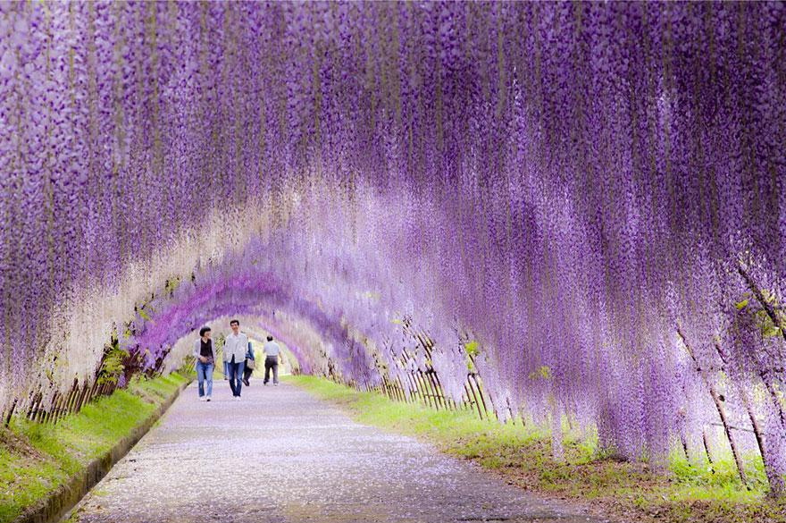 túnel Flor Wisteria en Japón