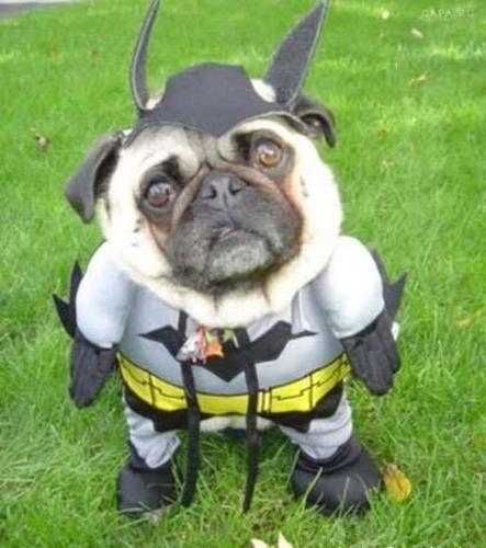 Batman Pug disfrazado