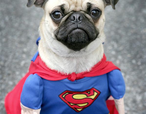 Pug superman